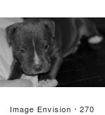 #270 Black And White Picture Of Gray Pit-Bull Dog