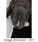 #271 Picture Of A Pit Bull Puppy