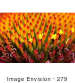 #279 Macro Picture of Magnus Coneflower, Latin: Echinacea purpurea by Kenny Adams