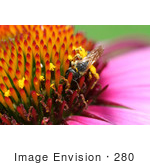 #280 Bee Pollination On A Purple Magnus Coneflower