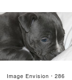 #286 Photography Of A Pit Bull Puppy