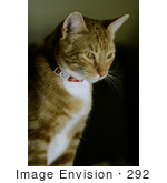 #292 Picture of an Orange Tabby Tomcat by Kenny Adams