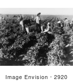 #2920 Pea Pickers