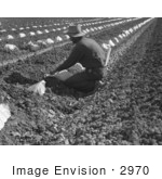 #2970 Migrant Worker Thinning And Weeding