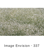 #337 Image Of A Gypsophilia Bush