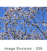 #339 Image Of A Gypsophilia Bush