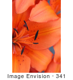 #341 Photograph of an Orange Asiatic Lily by Jamie Voetsch