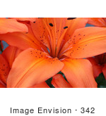 #342 Image of an Orange Asiatic Lily by Jamie Voetsch