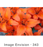 #343 Photo of an Orange Asiatic Lily by Jamie Voetsch