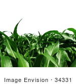 #34331 Stock Photo Of A Corn Crop Of Lush Green Plant Stalks Growing Abundantly Over A White Background