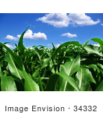 #34332 Stock Photo Of A Crop Field Of Lush Green Corn Stalks Growing Organically Under A Blue Sky With White Puffy Clouds