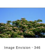 #346 Photograph of a Mimosa Tree by Jamie Voetsch