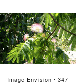 #347 Photo of Flowers on a Mimosa Tree by Jamie Voetsch
