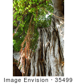#35499 Stock Photo Of Hanging Aerial Roots Of A Banyan Tree (Ficus Benghalensis)