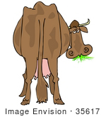 #35617 Clip Art Graphic Of A Tired Old Brown Dairy Cow From Behind Munching On Green Grass