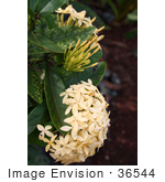 #36544 Stock Photo Of A Head Of Clustered Pale Yellow Flowers Below Buds On A Plant