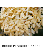 #36545 Stock Photo Of Ants Crawling On A Head Of Clustered Pale Yellow Flowers In A Garden