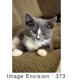#373 Photograph of a Grey and White Tuxedo Kitten by Jamie Voetsch