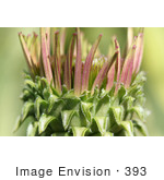 #393 Photograph of a Blooming Purple Coneflower by Jamie Voetsch