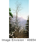 #40654 Stock Photo Of A Flowering Dogwood Tree In The Mountains