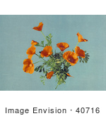#40716 Stock Photo Of Stock Photo Of Orange California Poppies (Eschscholzia Californica) On The Plant