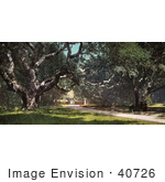 #40726 Stock Photo Of Old Oak Trees Forming A Canopy At Berkeley College California