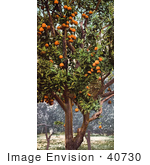 #40730 Stock Photo Of Oranges Growing On Trees In An Orchard California