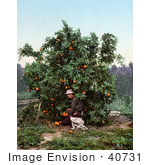 #40731 Stock Photo Of A Man Kneeling While Picking Oranges From A Tree