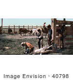 #40798 Stock Photo of Cowboys And Farmers Holding Down A Calf While Canding Their Cattle, Colorado by JVPD