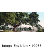 #40963 Stock Photo Of A Large Tree On The Side Of A Road Orange Grove Avenue In Pasadena California