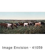 #41059 Stock Photo Of A Herd Of Cattle Grazing On Grasses In Colorado