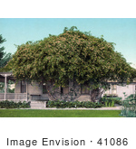 #41086 Stock Photo Of Gold Of Ophir Roses Growing Over A Home In Pasadena California