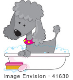 #41630 Clip Art Graphic Of A Bathing Silver Poodle In A Tub