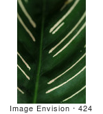 #424 Plant Picture of the Calathea Ornata by Kenny Adams