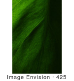 #425 Plant Picture Of The Cordatum Philodendron Leaf