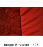 #428 Plant Picture Of A Red Poinsettia Leaf