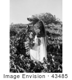 #43485 Rf Stock Photo Of A Ramallah Girl Picking Grapes In Taibeh Israel 1937