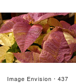 #437 Photo Of A White Poinsettia Plant Painted Purple