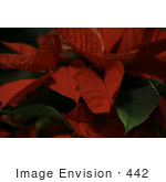 #442 Picture Of A Mexican Flame Leaf Poinsettia