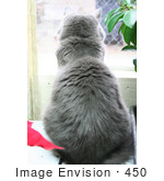 #450 Image Of A Silver Cat Looking Out A Window