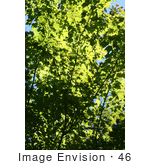 #46 Picture of a Deciduous Tree with Green Foliage by Kenny Adams