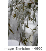 #4600 Black Bamboo in Snow by Jamie Voetsch