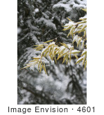 #4601 Bamboo and Blue Spruce in Snow by Jamie Voetsch