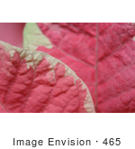 #465 Photograph Of Leaves On A Pink And White Poinsettia Plant