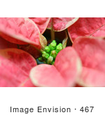 #467 Photograph Of Leaves On A Pink And White Poinsettia Plant