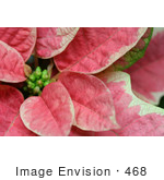 #468 Photograph Of A Pink Poinsettia