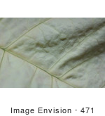 #471 Photograph Of The Texture Of A White Poinsettia Leaf