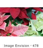 #478 Photo Of Red White And Pink Poinsettia Plants
