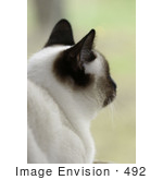 #492 Picture Of A Siamese Cat Looking Outside A Window