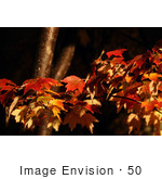 #50 Picture Of Maple Tree Leaves In Fall Color